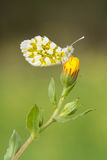 Mariposa del primer en la flor Fotografía de archivo libre de regalías