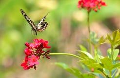 Mariposa del primer en la flor roja Imagenes de archivo