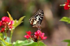 Mariposa del primer en la flor roja Foto de archivo libre de regalías
