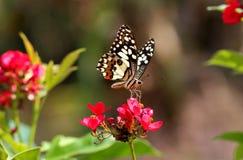 Mariposa del primer en la flor roja Fotos de archivo libres de regalías