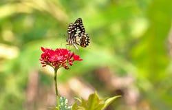 Mariposa del primer en la flor roja Foto de archivo