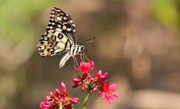 Mariposa del primer en la flor roja Imagen de archivo libre de regalías