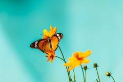 Mariposa del primer en la flor y x28; Butterfly& común x29 del tigre; Fotos de archivo