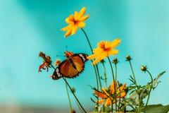 Mariposa del primer en la flor y x28; Butterfly& común x29 del tigre; Foto de archivo