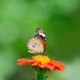 Mariposa del primer en mariposa común del tigre de la flor Fotos de archivo