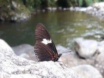 Mariposa del río fotografía de archivo