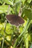 Mariposa del rizo Fotos de archivo
