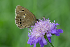 Mariposa del rizo del arbolado en una flor de la viuda Foto de archivo