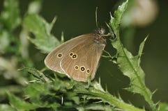 Mariposa del rizo - hyperantus de Aphantopus Foto de archivo
