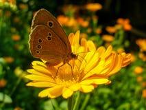 Mariposa del rizo que se sienta en la flor de la maravilla foto de archivo