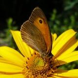 Mariposa del rizo que se sienta en la flor de la margarita foto de archivo libre de regalías