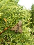 Mariposa del stellatarum de Macroglossum imágenes de archivo libres de regalías