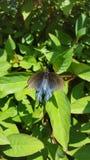 Mariposa del swallowtail de Pipevine en el firebush de Tejas Imágenes de archivo libres de regalías