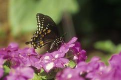 Mariposa del swallowtail de Spicebush Imagen de archivo