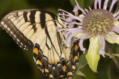 Mariposa del swallowtail del tigre en la flor del bálsamo de abeja en Vernon, Connec Fotografía de archivo