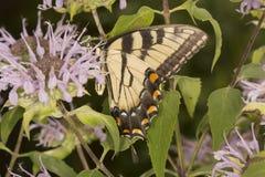 Mariposa del swallowtail del tigre en la flor del bálsamo de abeja en Vernon, Connec Imagen de archivo