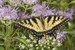 Mariposa del swallowtail del tigre que forrajea en la flor del bálsamo de abeja de la lavanda Fotografía de archivo