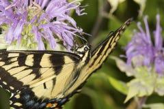 Mariposa del swallowtail del tigre que forrajea en la flor del bálsamo de abeja de la lavanda Imagenes de archivo