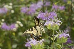 Mariposa del swallowtail del tigre que forrajea en la flor del bálsamo de abeja de la lavanda Fotos de archivo
