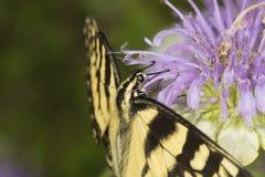 Mariposa del swallowtail del tigre que forrajea en la flor del bálsamo de abeja de la lavanda Foto de archivo libre de regalías