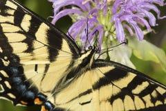 Mariposa del swallowtail del tigre que forrajea en la flor del bálsamo de abeja de la lavanda Imagen de archivo libre de regalías