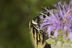 Mariposa del swallowtail del tigre que forrajea en la flor del bálsamo de abeja de la lavanda Foto de archivo