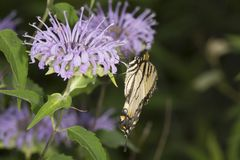 Mariposa del swallowtail del tigre que forrajea en la flor del bálsamo de abeja de la lavanda Imagen de archivo