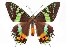 Mariposa del tigre imagen de archivo