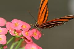 Mariposa del tigre del roble Foto de archivo libre de regalías