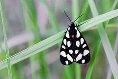 Mariposa del villica de Arctia Colores blancos negros anaranjados hermosos del insecto de vuelo, fondo de la hoja de la hierba ve Fotografía de archivo