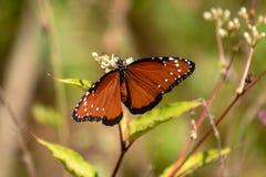 Mariposa del virrey foto de archivo