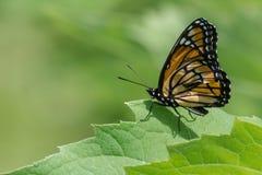 Mariposa del virrey Fotografía de archivo libre de regalías