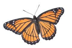 Mariposa del virrey en blanco imagen de archivo libre de regalías