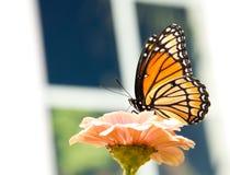 Mariposa del virrey que introduce en un Zinnia anaranjado claro Imágenes de archivo libres de regalías