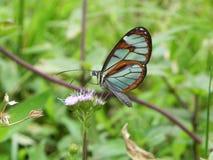 Mariposa del vitral que descansa sobre la floración Foto de archivo