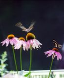 Mariposa del vuelo Imagen de archivo libre de regalías