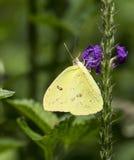 Mariposa despejada de Phoebis sean Sulfer Imagenes de archivo
