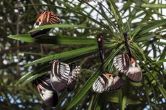 Mariposa dominante de Heliconius del piano Foto de archivo