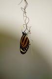 Mariposa dominante del piano Imagen de archivo