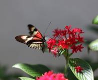 Mariposa dominante del piano imagenes de archivo