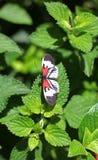 Mariposa dominante del piano imágenes de archivo libres de regalías
