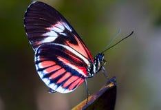 Mariposa dominante del piano imagen de archivo libre de regalías