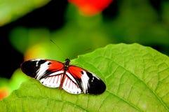 Mariposa dominante del piano en la hoja verde en pajarera Fotografía de archivo libre de regalías