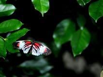 Mariposa dominante del piano (lado superior) en la hoja verde en pajarera Foto de archivo