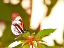 Mariposa dominante longwing del negro, blanca y roja del piano Imagen de archivo