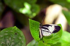 Mariposa dominante longwing negra y blanca del piano en la hoja Imagen de archivo libre de regalías