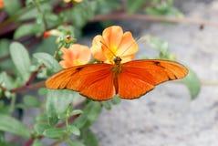 Mariposa (Dryas Julia) Fotografía de archivo
