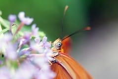 Mariposa (Dryas Julia) Foto de archivo