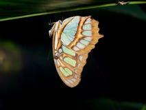Mariposa el dormir (stelenes de Siproeta) Imagen de archivo