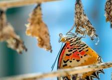 Mariposa emergente Fotos de archivo libres de regalías